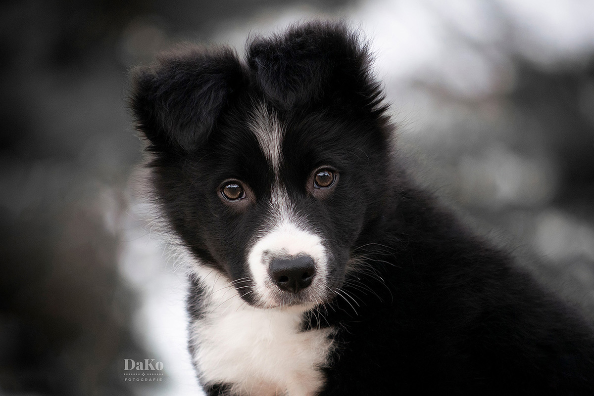 portret bordercollie puppy
