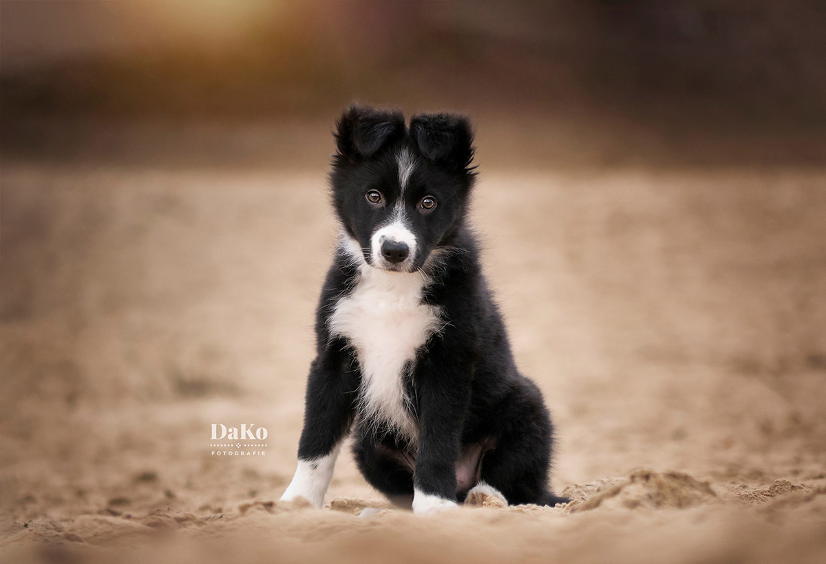 Bordercollie puppy fotografie