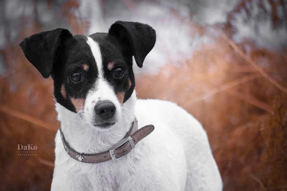 Jack Russel in de winter